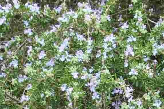 """Rosmarinus officinalis """"Veitshöchsheim"""""""