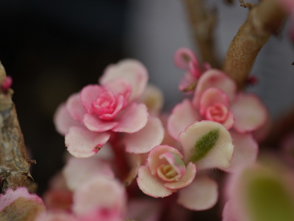 """Sedum spurium """"Tricolor"""""""