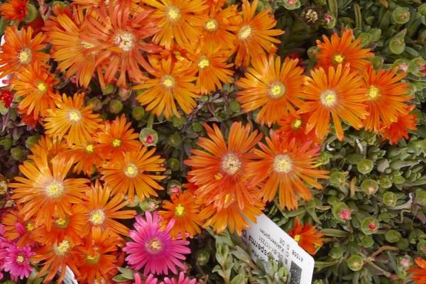 Delosperma 'Orange große Blüten'