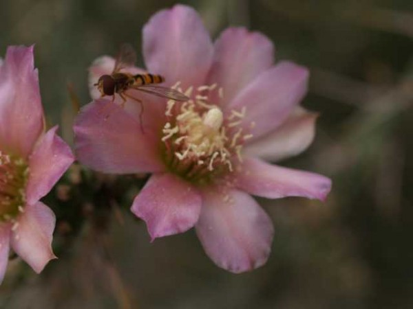 Cylindropuntia kleinae /1702