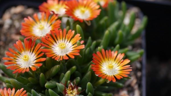 Delosperma 'Hanna' orange-rot Blüten mit weissem Ring