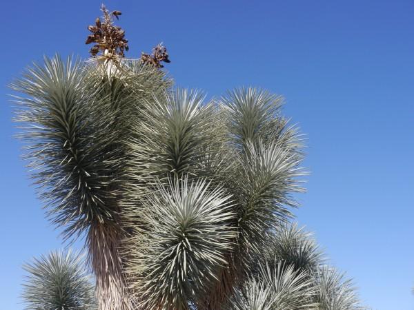 "Yucca brevifolia 'Blaue Form nördlich Wickenburg Arizona"""