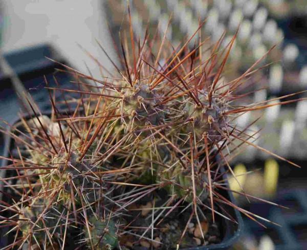 """Opuntia fragilis """"La Sal Mts. 2300m"""""""