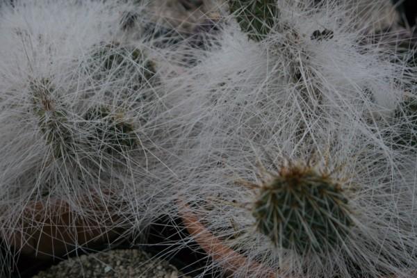 "Opuntia polyacantha var polyacantha ""trichophora"""