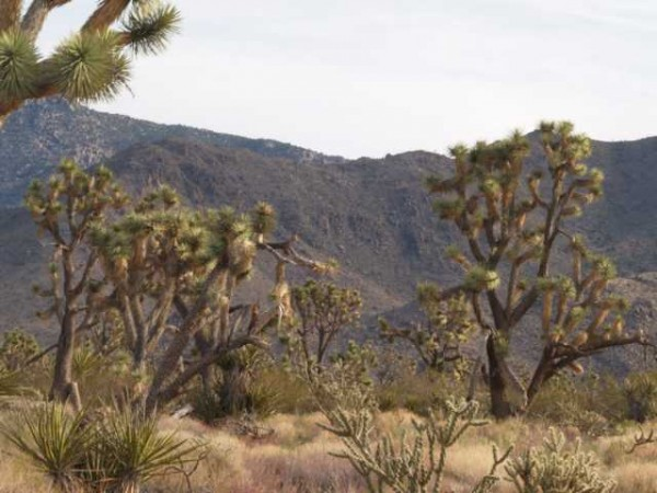 "Yucca brevifolia ""Wightwood Arizona"