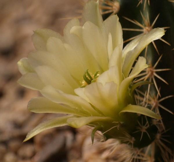 "Echinocereus coccineus ""Gelbe Blüten SB"""