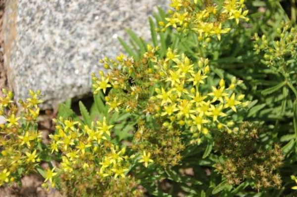"""Sedum floriferum """"Weihnstephaner Gold"""""""