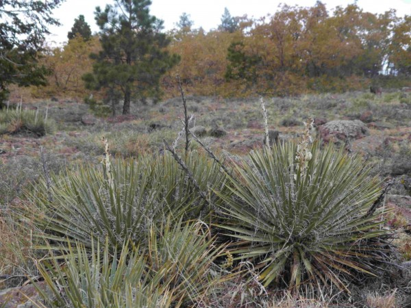 Yucca angustissima subsp.avia ' Garfield Co Utah 2700m'