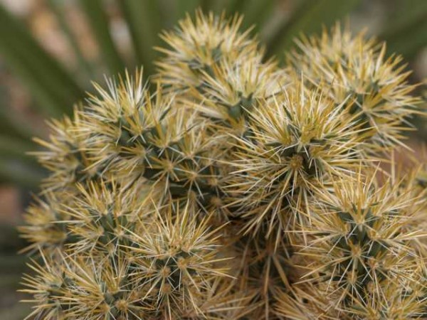 "Cylindropuntia echinocarpa""MUG 167 1600m"" /1850"