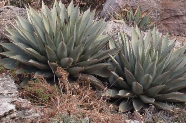 "Agave parryi ""Grant Co NM"" 2073m """