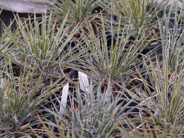 """Yucca angustissima """"Blanding San Juan Co Utah 1900m"""""""