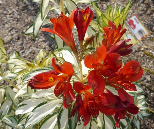 Alstromeria 'Rock and Roll' Inkalilie