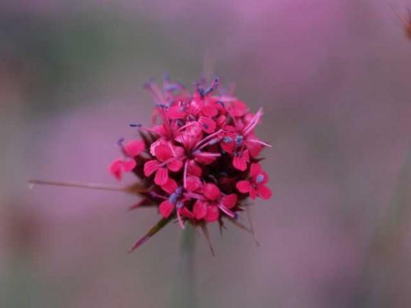 Dianthus carthusianorum var humile /niedrige Kartäusernelke