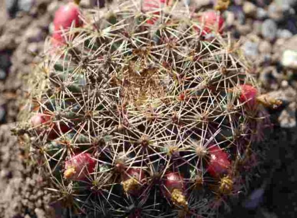 "Mammilaria heyderi var macdougalii ""Arizona"""