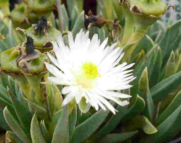 Bergeranthus jamesii-albiflora