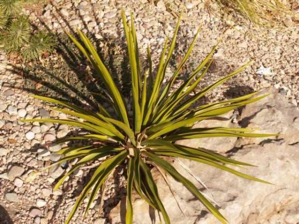 """Yucca rupicola """"Ozona Co Tx """""""