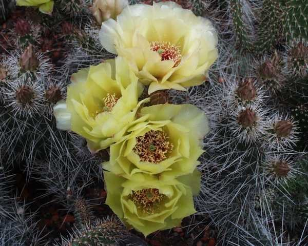 "Opuntia polyacantha var.hystricina ""MUG 119 südl. Pima Arizona"" /2005"