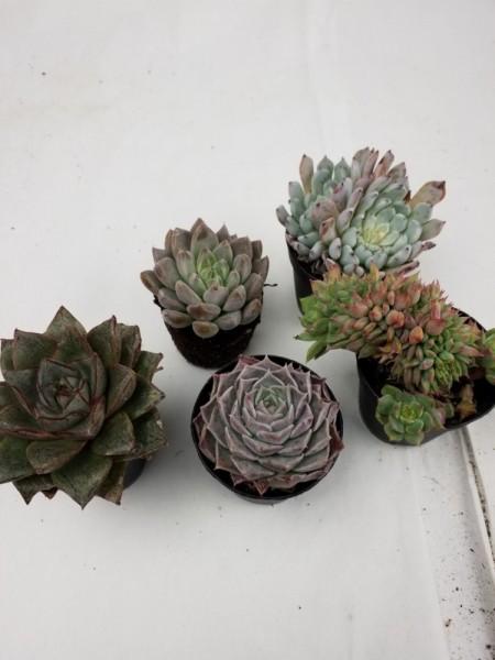 Echerverien Sortiment 5 Pflanzen