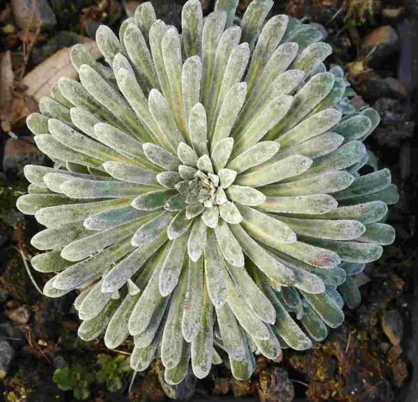 Saxifraga longifolia hybr.