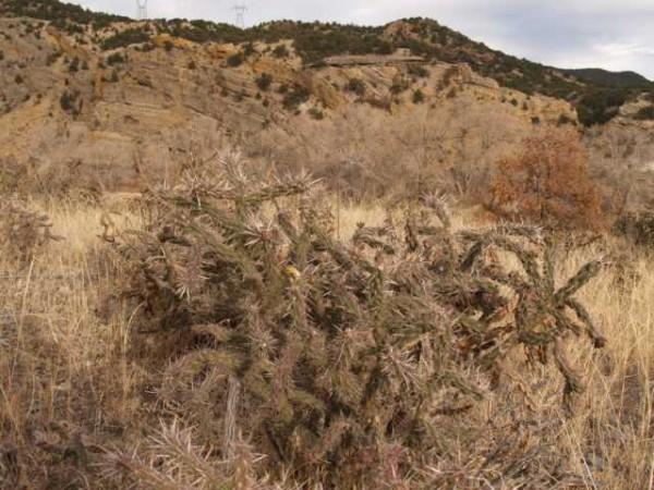 "Cylindropuntia imbricata ""Fremont Co Colorado"" /1018"