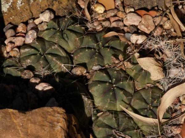 "Echinocereus knippelianus var. reyesii ""Nuevo Leon Mexico"""