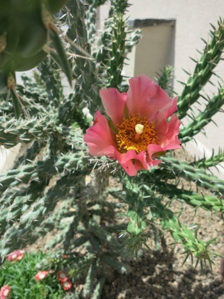 "Cylindropuntia x spinosior ""Philip Graf PGR939 Sedona"""