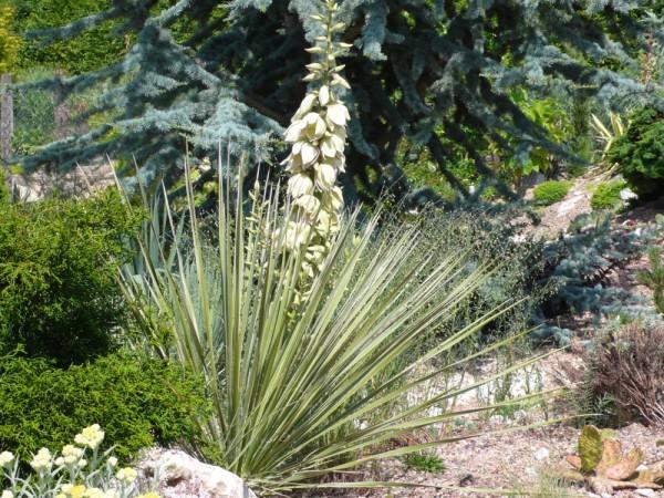 """Yucca glauca """"Bernallio NM"""""""
