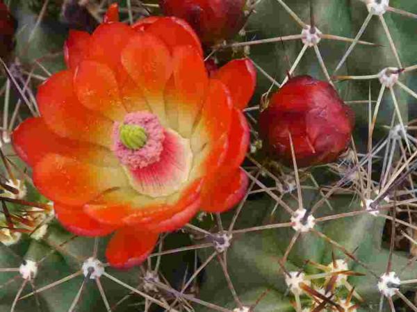 """Echinocereus coccineus var.paucispinus """"SB 402 Crokett Co Tx"""""""