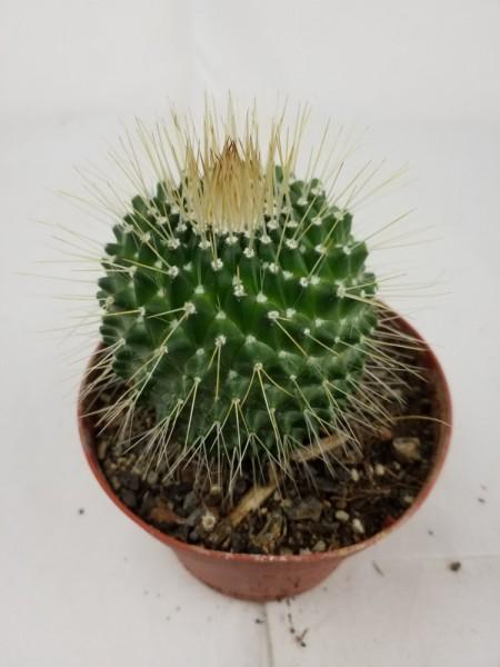"""Mammilaria spinnossima-""""un Pico"""""""