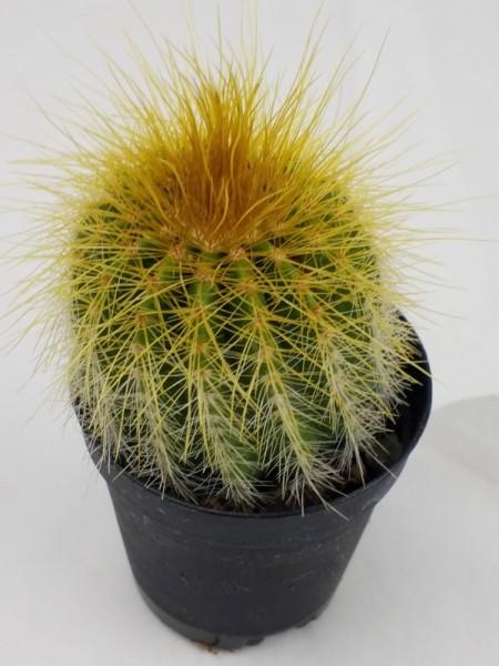 Parodia magnifica (Eriocactus magnifica)