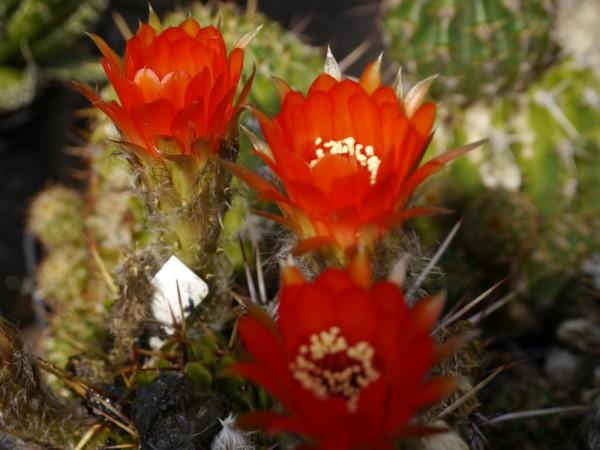 Echinopsis aurea rote Blüten (Syn. Lobivia aurea)