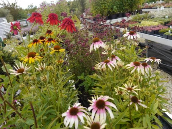 Echinacea 'Mischung' 5 verschiedene Sorten