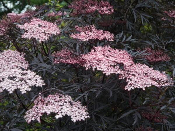 "Sambucus nigra ""Black Lace"" /rotblättriger Holunder"