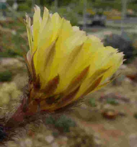 Echinopsis aurea (Syn. Lobivia aurea)