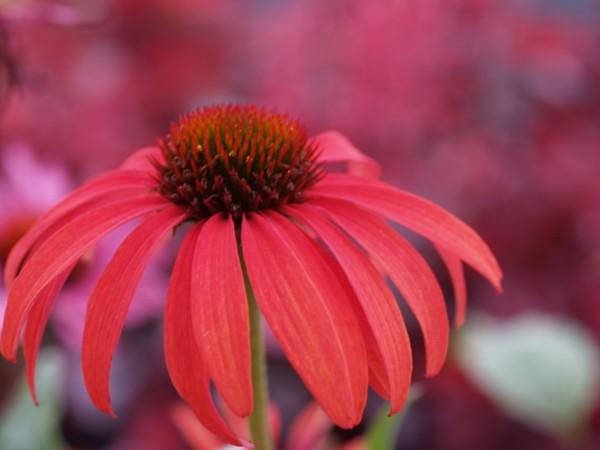 Echinacea 'Mischung' 3 verschiedene Sorten