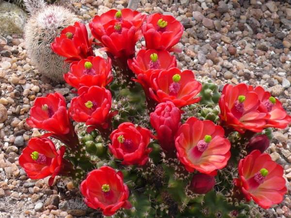 Echinocereus mojavensis f. inermis LZ 171 La Sal Mts Utah (triglochidiatus) /6024