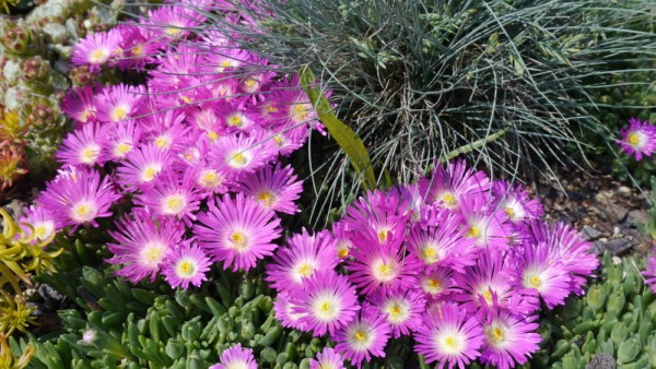 "Delosperma congestum ""Lesotho Pink"""