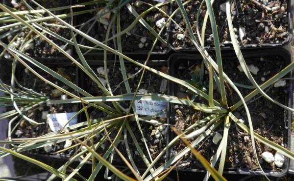 Yucca thompsoniana (green) x Y. glauca MG 1985.6 ) GG152