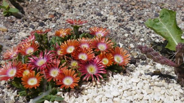 Delosperma dyeri orange rote Blüten