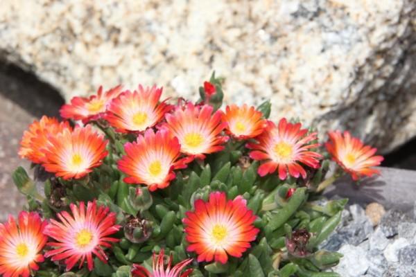 Delosperma 'Lucia' orange-rot Blüten