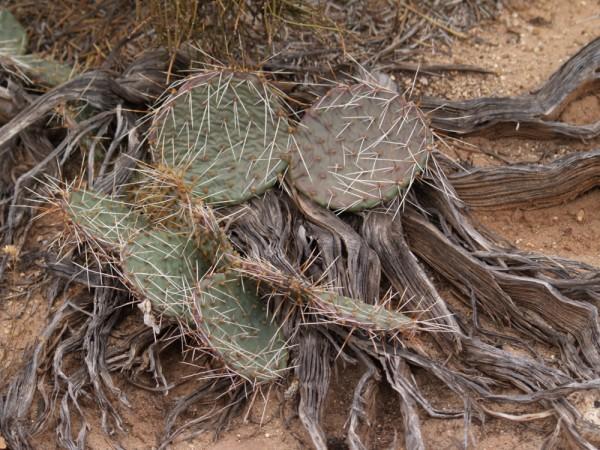 "Opuntia macrorhiza ""Blanding Utah 1850m"""