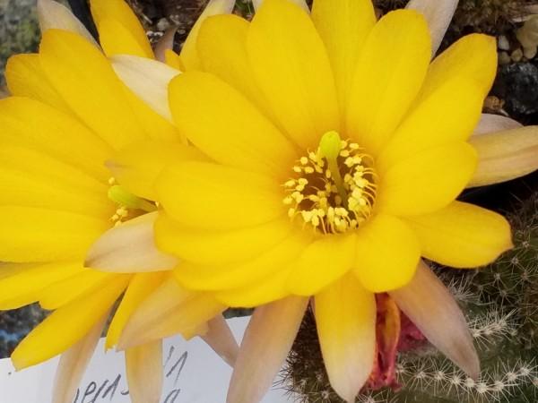 """Echinopsis chamacereus Hybride """"Bernstein"""""""