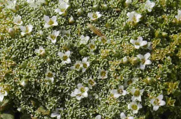 Arenaria lithops
