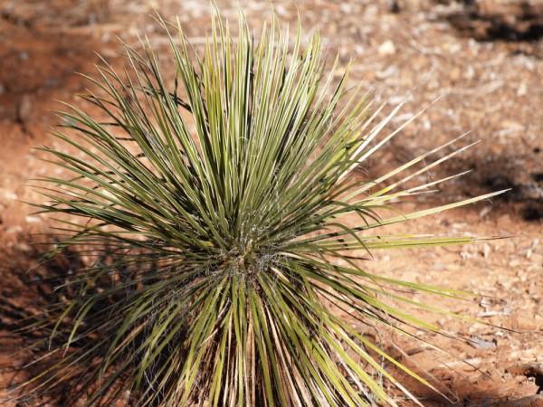 Yucca aff. elata 'Prescott Valley AZ'