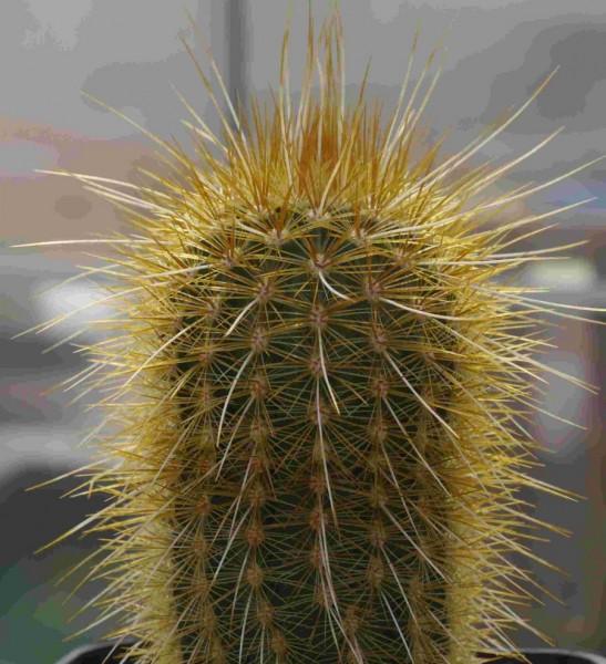 "Echinocereus russanthus var. weedinii ""HK1284"""""