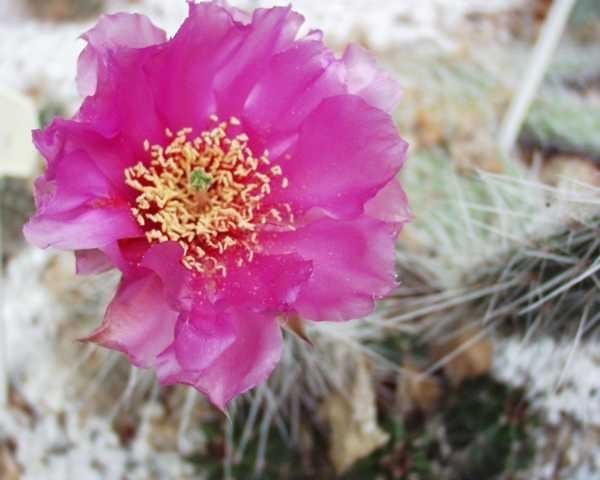 """Opuntia hystricina var.nicholii """"Michael Kiesling"""" /2007"""
