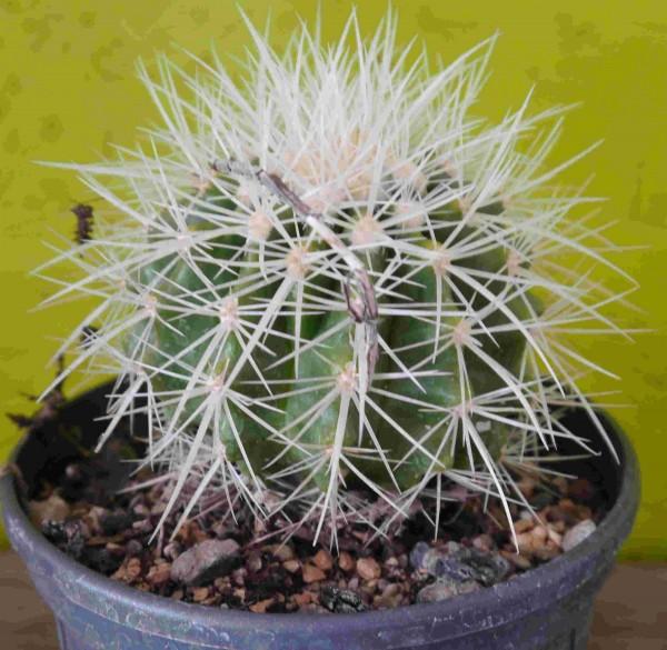 """Echinocactus grusonii f. alba / weisser Schwiegermutterstuhl """""""