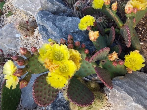 """Opuntia aurea """"Golden Carpet"""""""