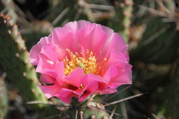 """Opuntia polyacantha var. erinacea """"utahensis Torrey Utah (indianerrot) /48262"""