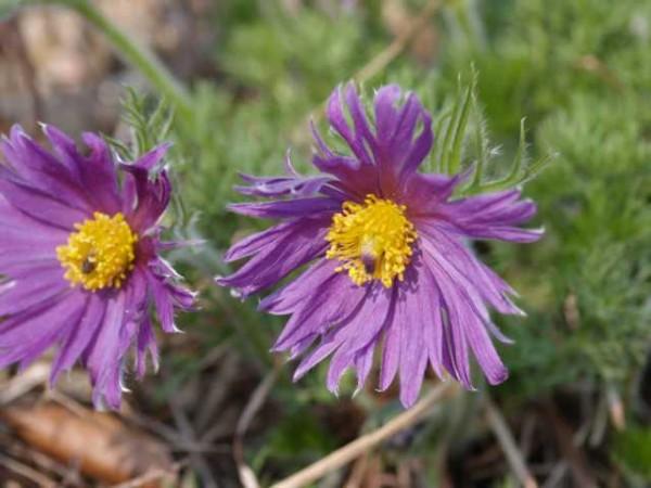 """Pulsatilla vulgaris """"Papageno"""" meist gefranzte Blüten /Küchenschelle"""